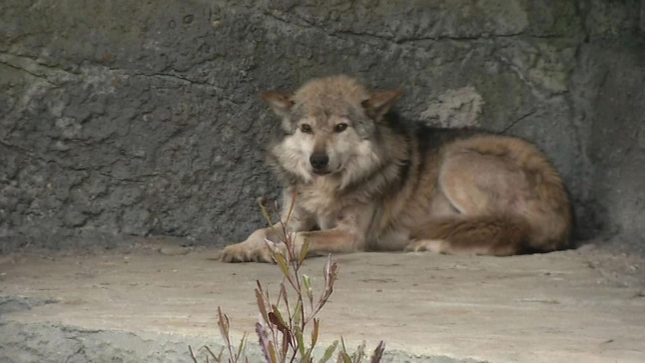 This image shows a Mexican gray wolf at the San Francisco Zoo on June 8, 2016.