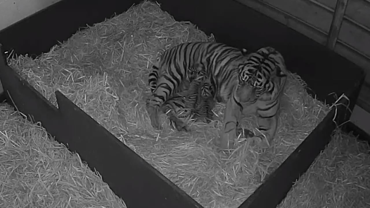 This image from video shows rare Sumatran tiger cubs that were just born at the Paignton Zoo in England on May 31, 2016.