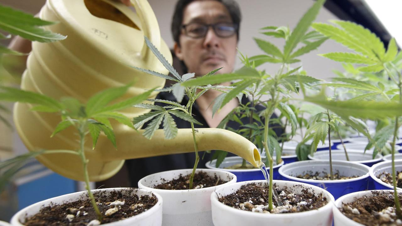 In Aug. 19, 2015, file photo, Canna Care employee John Hough waters young marijuana plants at the medical marijuana dispensary in Sacramento, Calif.