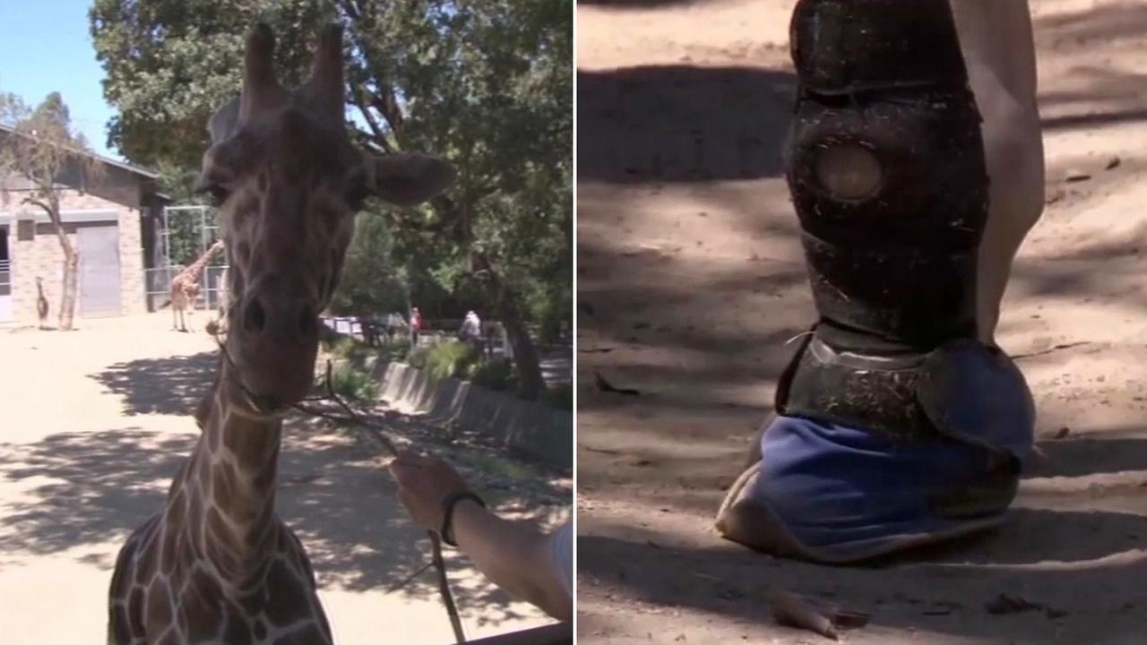 Goody the giraffe at the Sacramento Zoo and arthritis boot.