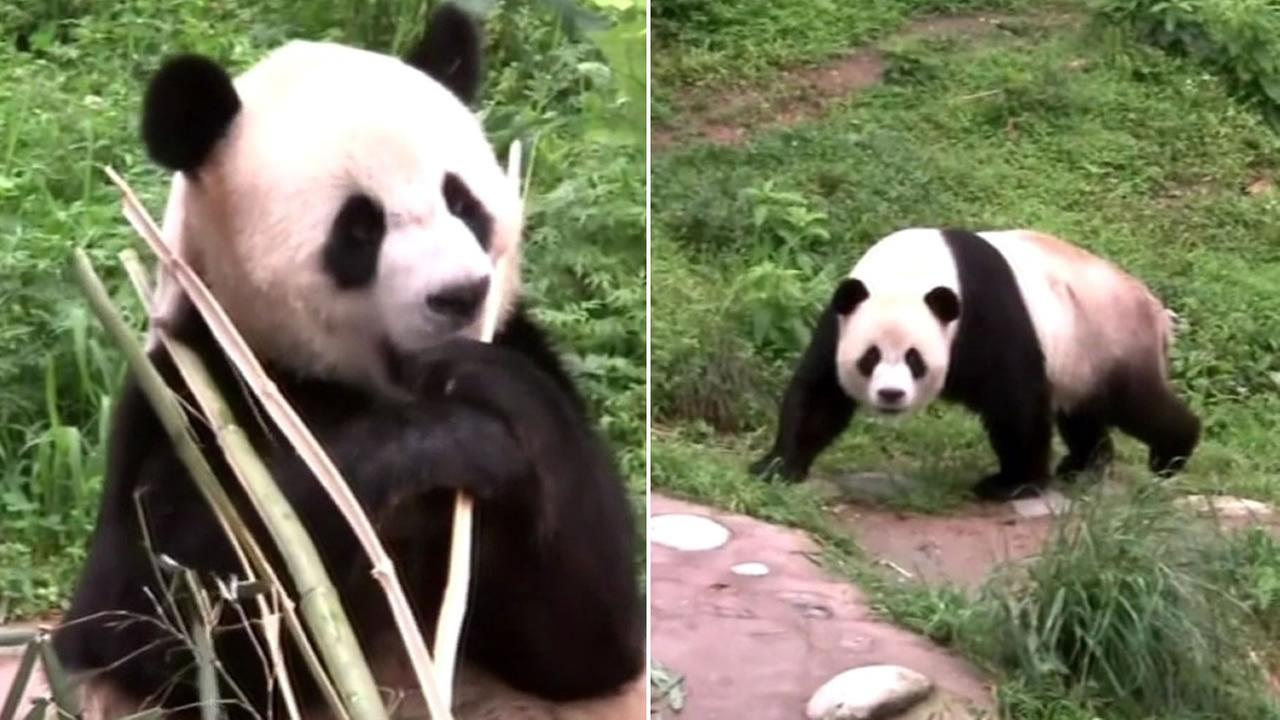 Two giant panda sisters are now living in the wild after successfully completing survival training in southwest China.