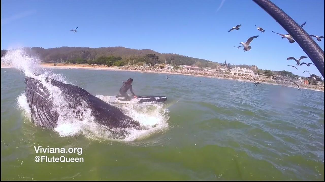 This image shows a whale jumping out of the water and into the air next to a woman paddleboarding in Half Moon Bay, Calif.
