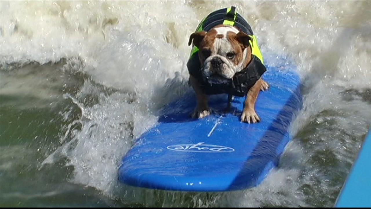Sully the English bulldog shows off surfing skills at Ocean Beach in San Francisco on Thursday, July 21, 2016.