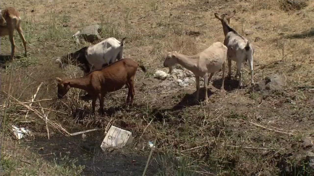 Goats eat through dry brush in San Rafael, Calif. on Wednesday, July 27, 2016.
