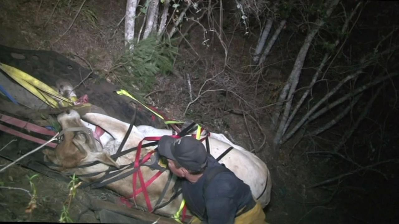 This image shows volunteer firefighters rescuing Tiny the cow after it fell down a hill in Sonoma County.