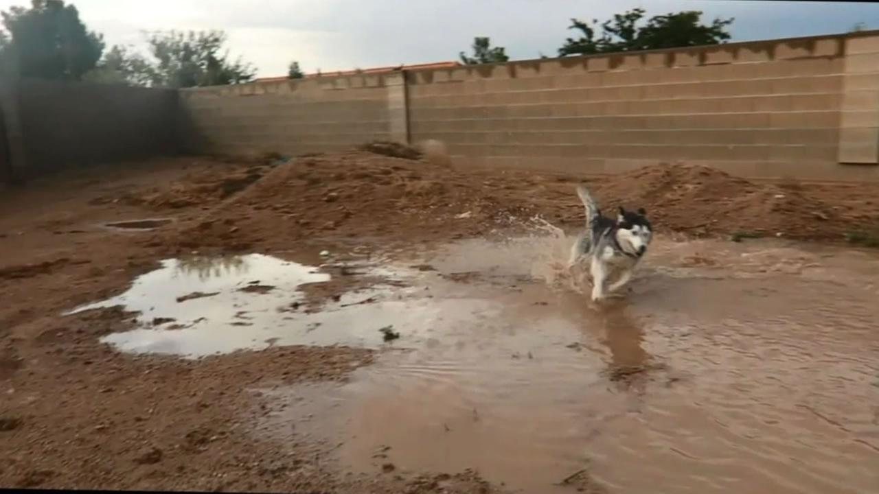 This image shows Jewel the husky running around by a puddle of mud on August 9, 2016.