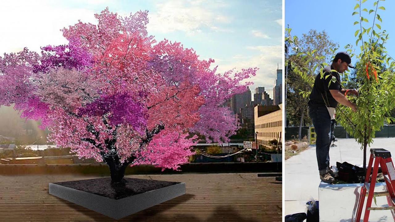 This image shows a rendering of the Tree of 40 Fruit and the actual tree at the Childrens Discovery Museum in San Jose, Calif. on August 17, 2016.