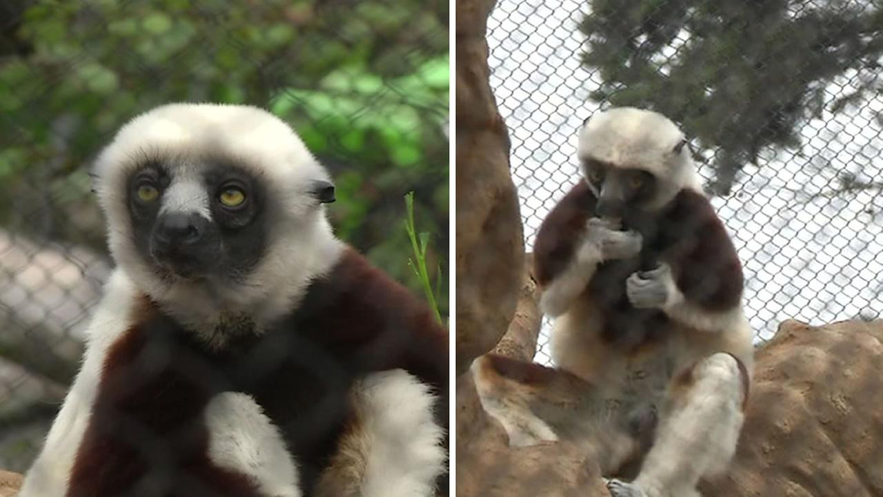 Two Sifaka lemurs checked out their new habitat at the San Francisco Zoos Primate Center on Friday, August 19, 2016.