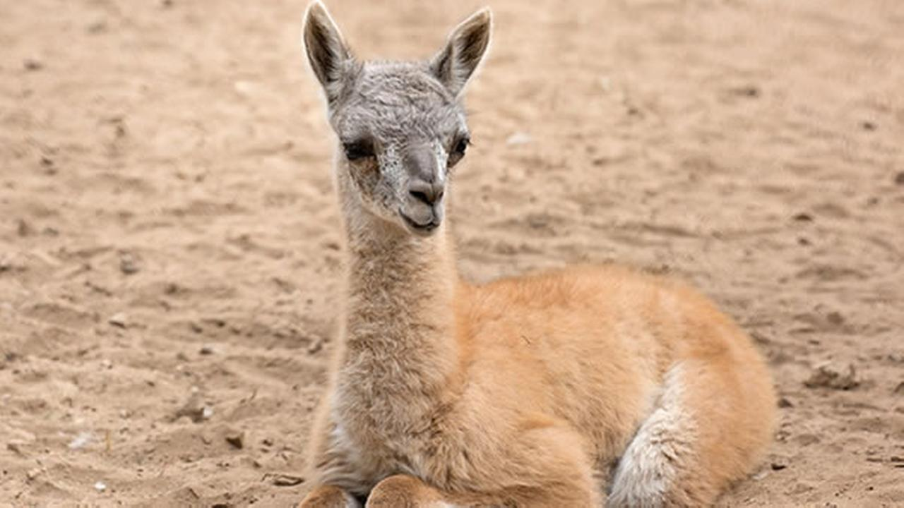 A guanaco was born on Saturday, August 20, 2016 at the San Francisco Zoo.