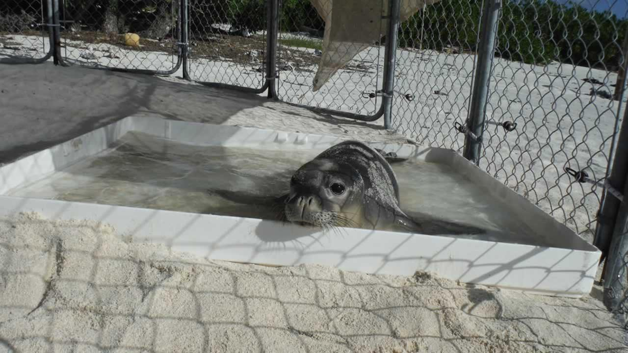 A prematurely weaned Hawaiian monk seal pup, known to researchers as VH24, is seen in a beach pen on Kure Atoll.NMFS / NOAA permit 16632