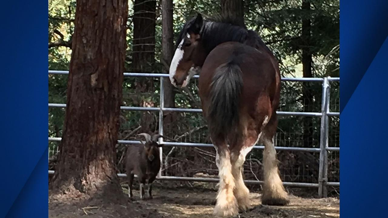 This undated photo provided by Tamara Schmitz shows Clydesdale horse Budweiser with his friend, a Nigerian dwarf billy goat named Lancelot, near Santa Cruz, Calif.  (Tamara Schultz via AP)