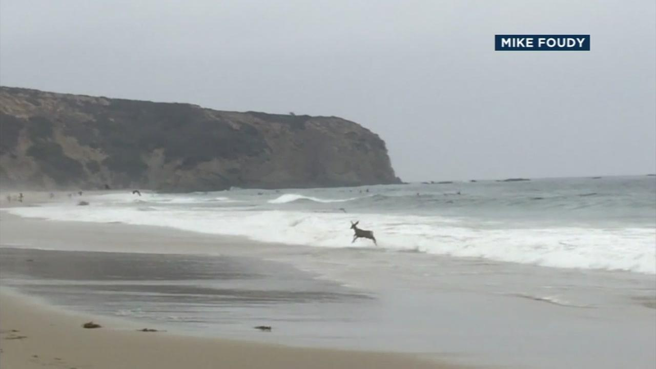 A deer is shown prancing away from the water of a Dana Point beach.