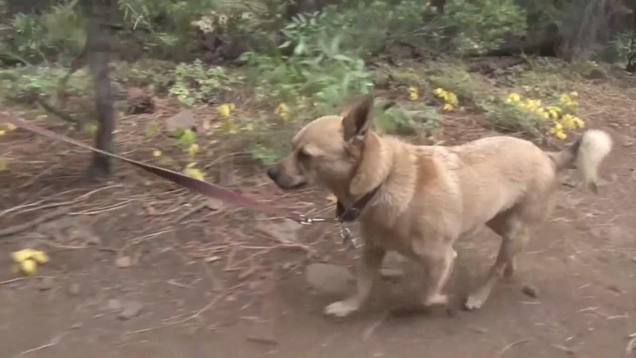 Hachi the Wonder Dog embarked on a 375-mile trek from Lake Tahoe to Point Reyes Sea Shore.