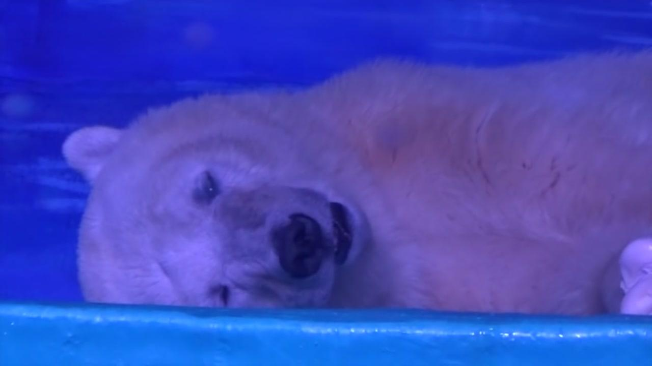 A sad and lonely polar bear is an attraction inside a shopping center in southern China.