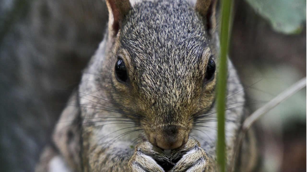 A squirrel nibbles on plant life in Central Park on Friday, Sept. 14, 2012 in New York. (AP Photo/Bebeto Matthews)