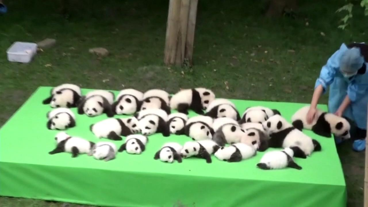 Its a panda bonanza in China. A breeding facility debuted 23 baby pandas this week.