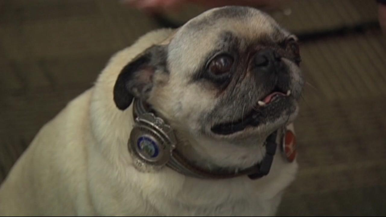 Jaxson is an 11-year-old pug who authorities say recently saved his family from an electrical fire.