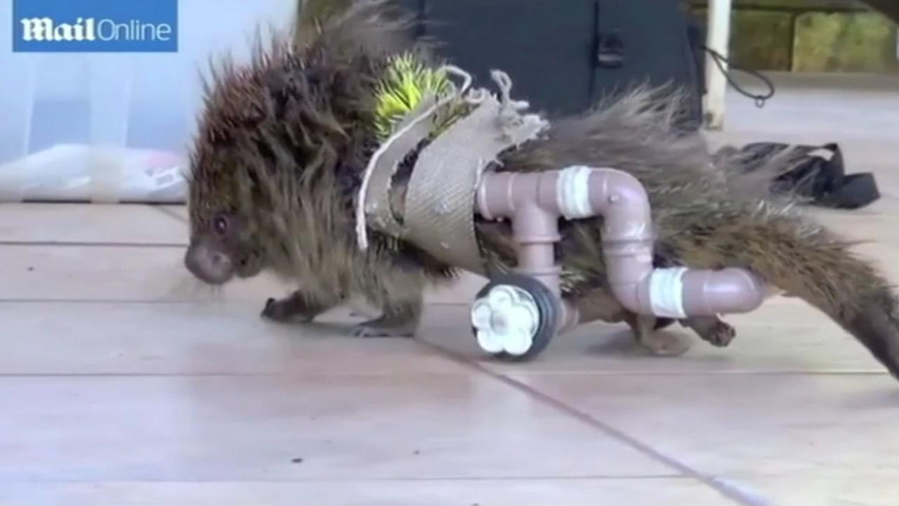 Disabled porcupine gets around with DIY wheelchair.