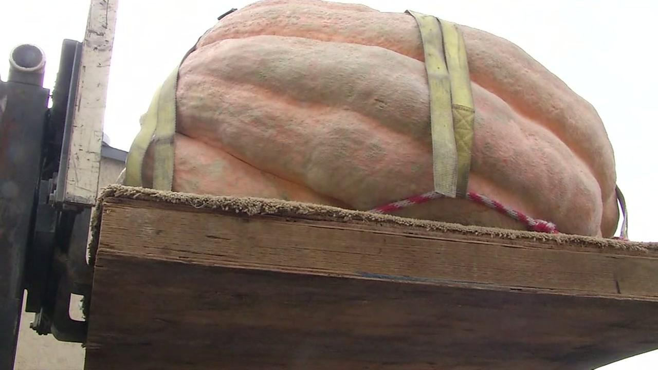 Gigantic gourds are weighed at the Safeway World Championship Pumpkin Weigh-off in Half Moon Bay, Calif. on Monday, Oct. 10, 2016.KGO-TV