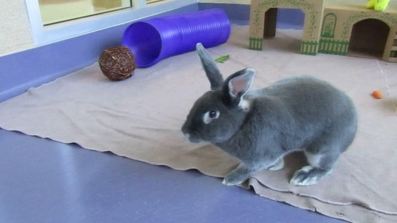 This undated image shows Pepper, a rabbit up for adoption at the Peninsula Humane Society.