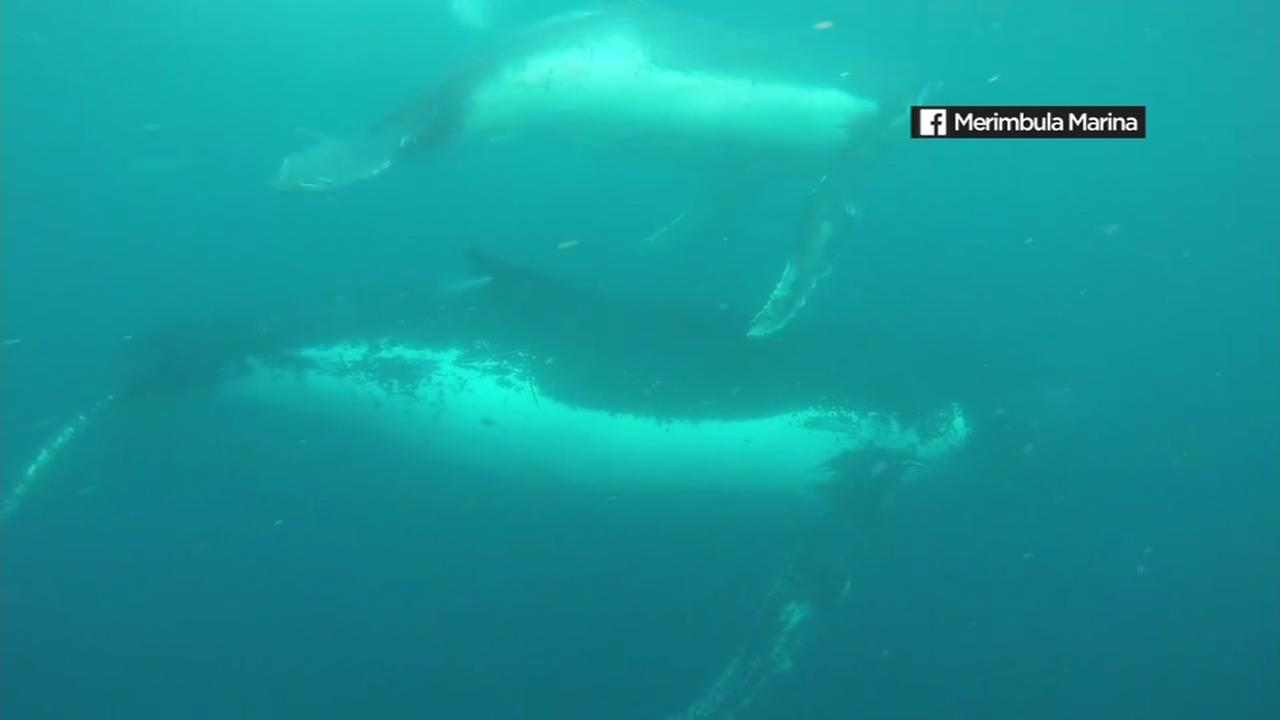 This image shows humpback whales swimming in Australia.