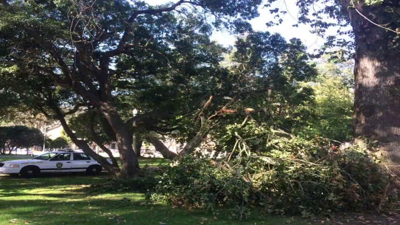 A Monterey Cypress dropped a 20 ft. branch along the Southern Panhandle path at Cole Street in San Francisco on Oct. 27, 2016.