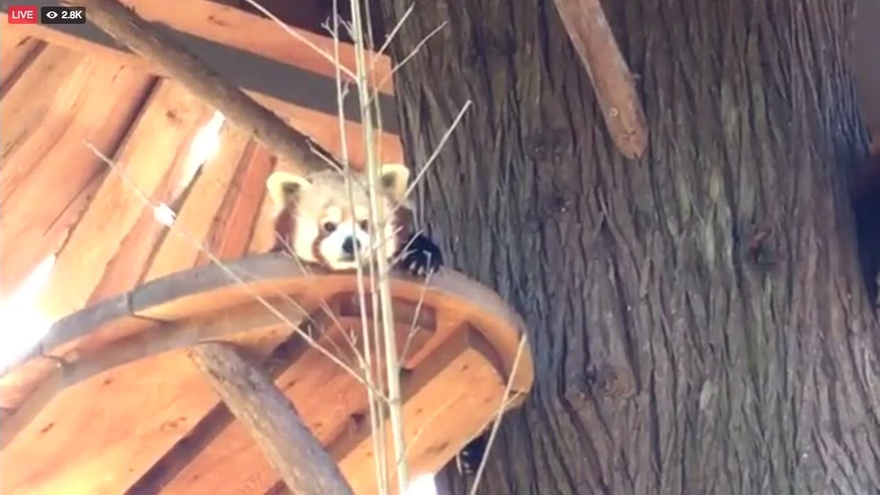The San Francisco Zoo live streamed red pandas in conjunction with Firefox on Tuesday, Nov. 8, 2016.