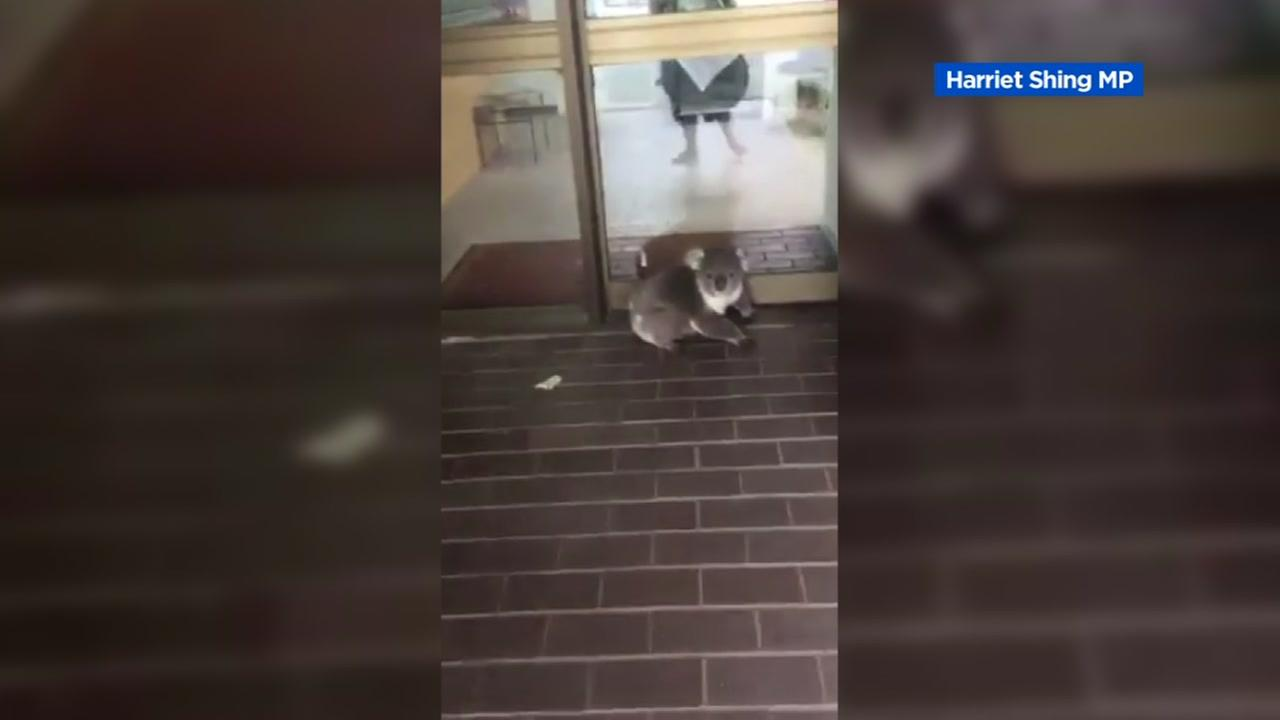 A koala wandered into an accounting office in Victoria, Australia on Monday, Nov. 14, 2016.