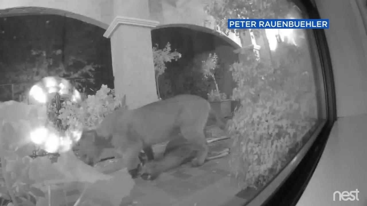 A mountain lion dragged a dear off a porch in Hillsborough, Calif. on Dec. 14, 2016.