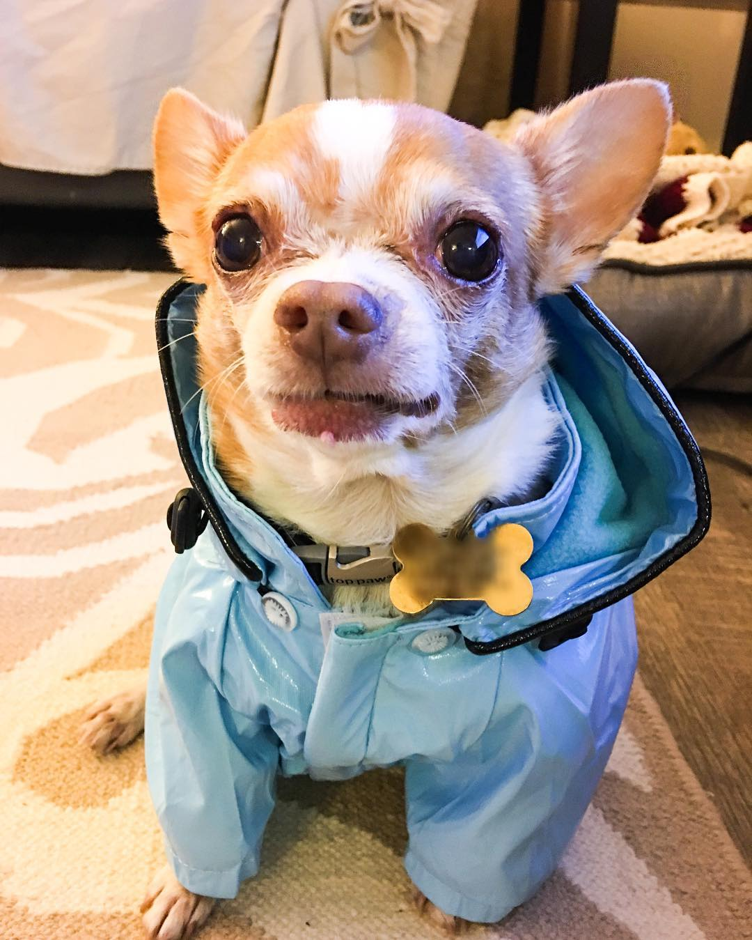 <div class='meta'><div class='origin-logo' data-origin='none'></div><span class='caption-text' data-credit='Photo submitted to KGO-TV by @portiaandpumapups/Instagram'>A dog wears a little raincoat in this undated image.</span></div>