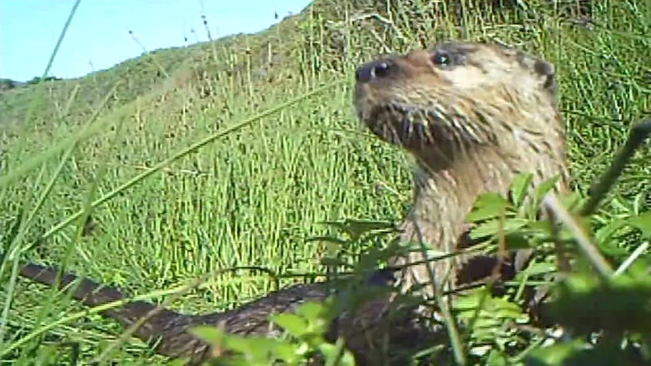 A river otter is seen in this undated photo.