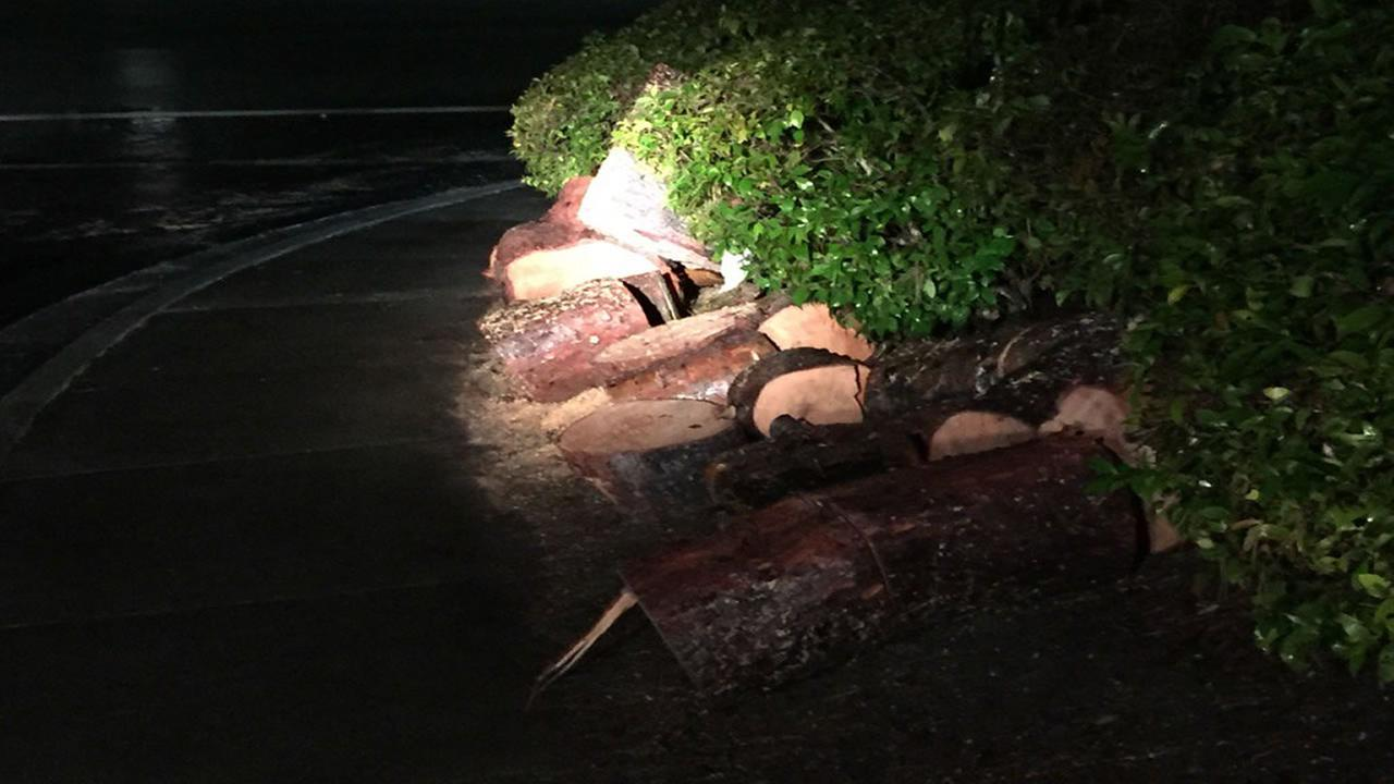 A tree was cut down by an arborist in San Ramon, Calif. on Jan. 7, 2017 after being deemed unsafe by fire officials.Lisa Amin Gulezian/Twitter