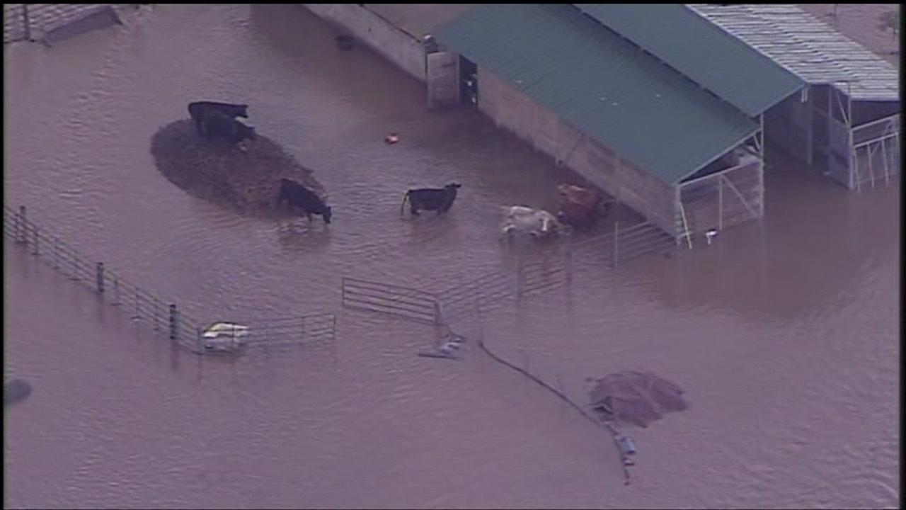 Animals stranded by rising flood water are seen in Hollister, Calif. on Wednesday January 11, 2017.KGO-TV