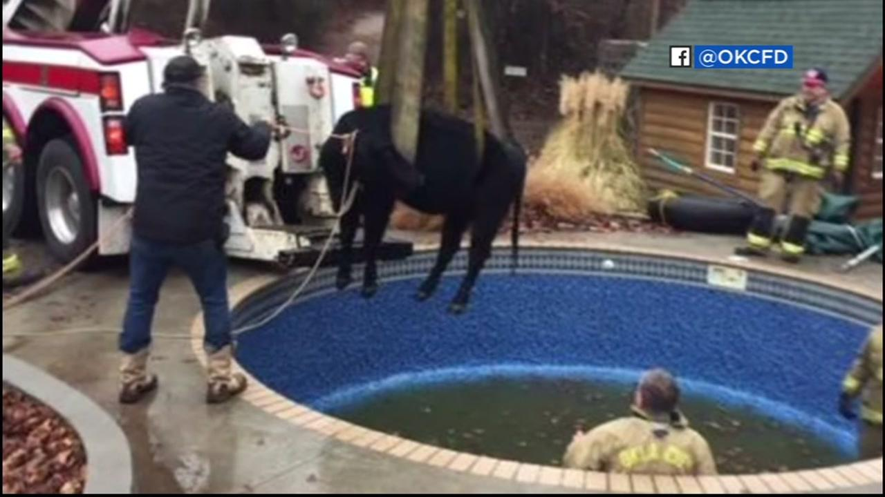 Cow trapped in residential pool rescued in Oklahoma City