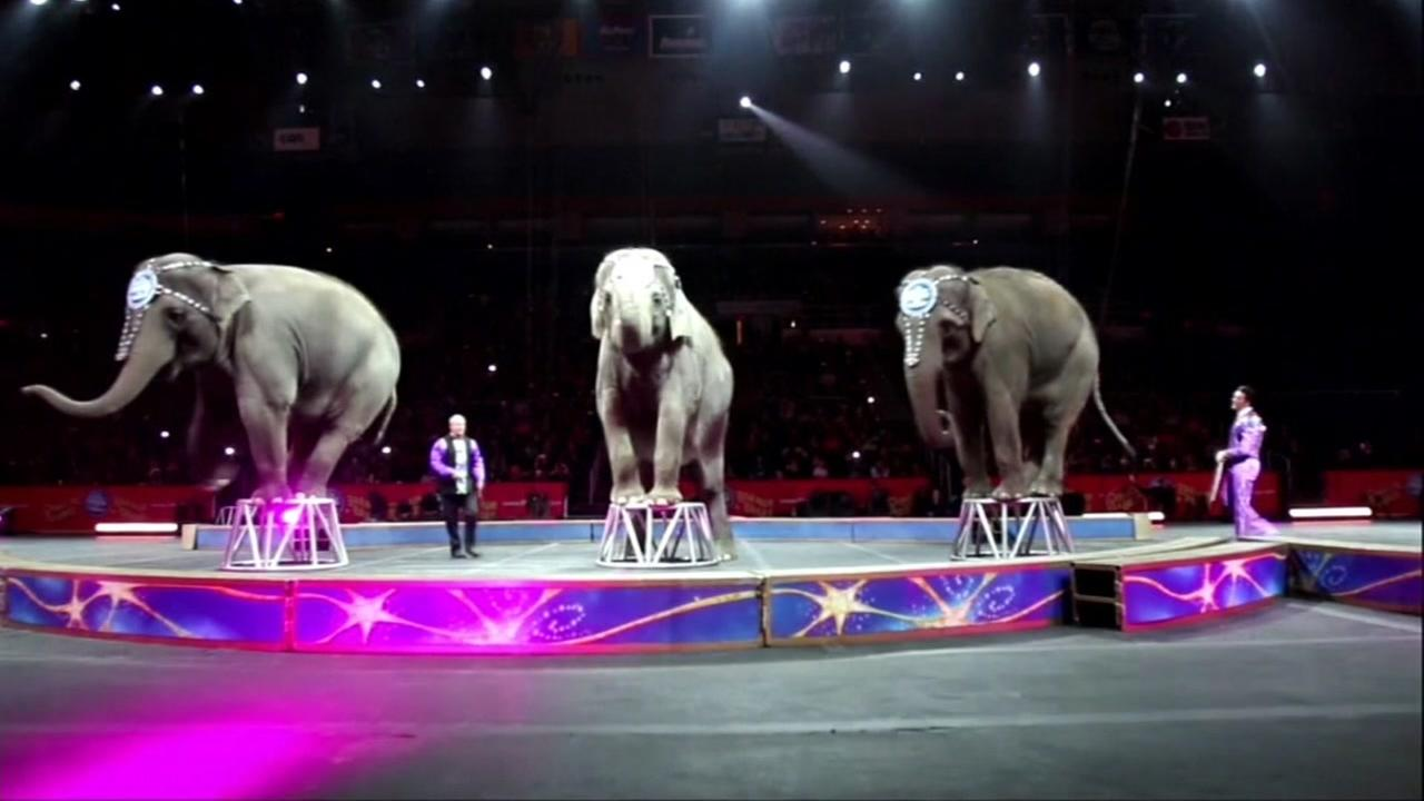 This is an undated image of elephants performing in the Ringling Brothers and Barnum and Bailey circus.