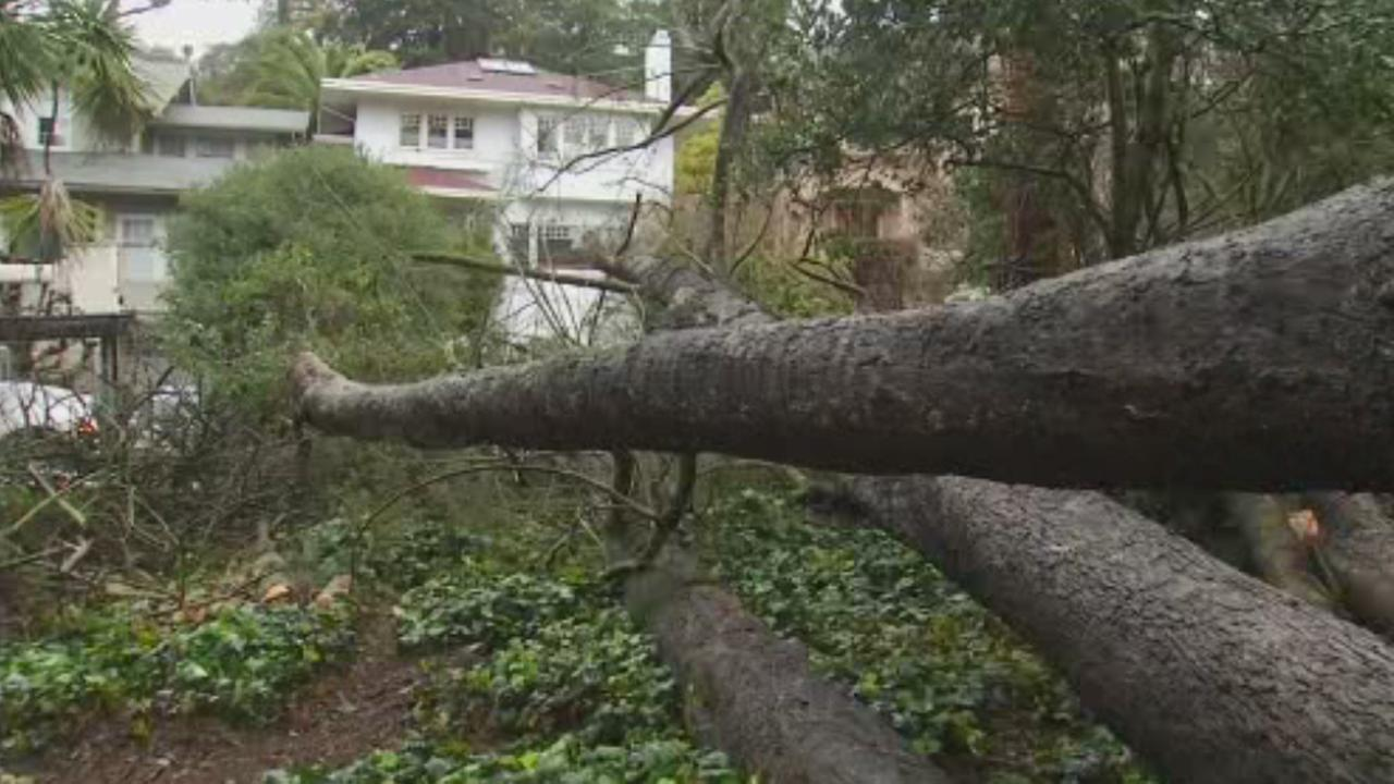 Massive tree falls in Berkeley, California, Friday, February 10, 2017.