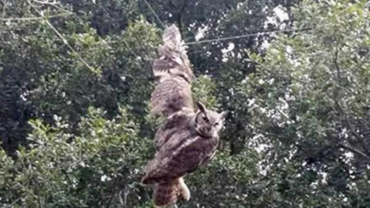 Animal control officers freed this horned owl caught on a fishing line in between two trees in Vallejo, Calif. on Monday, Feb. 13, 2017.