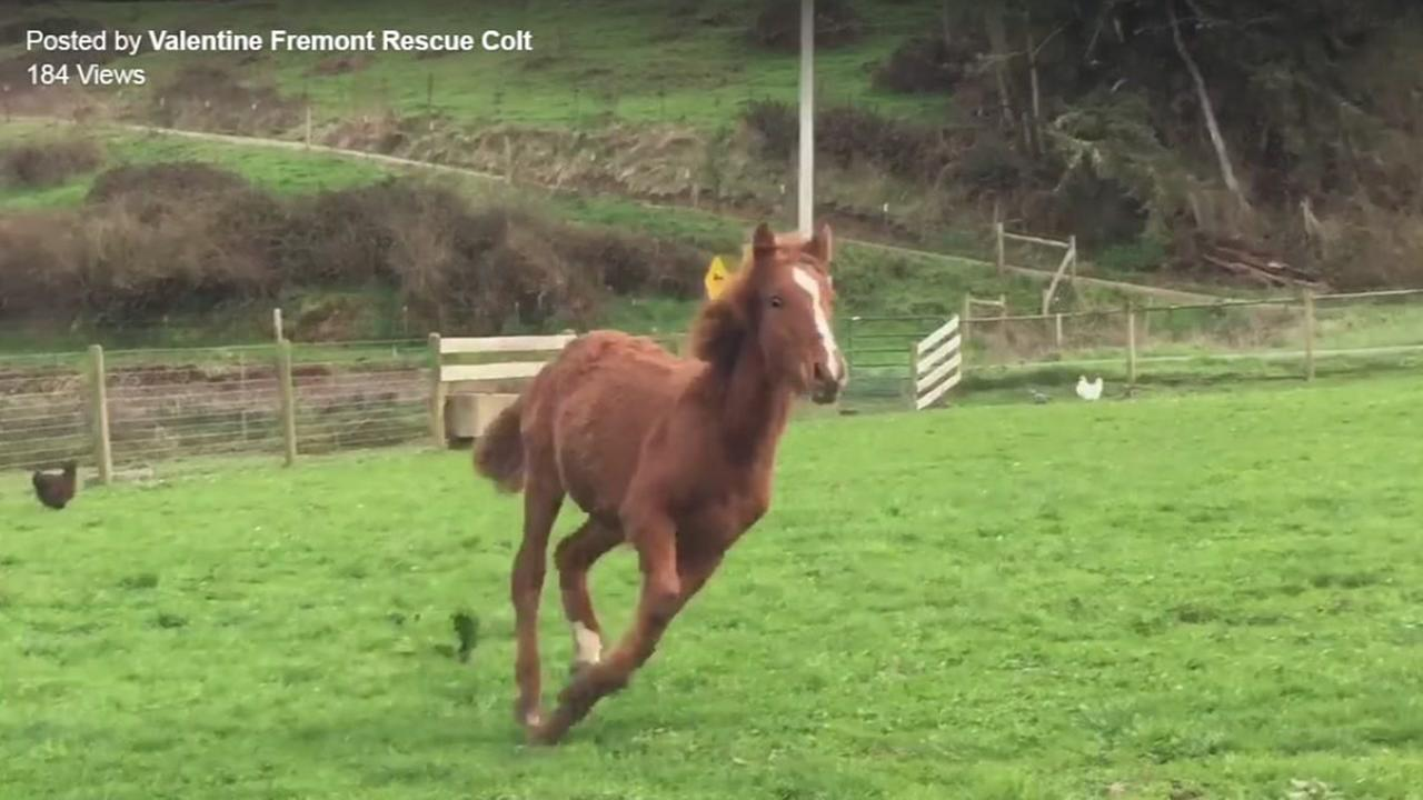 Valentine the baby colt is seen running in this new photo posted by the breeder who adopted him.