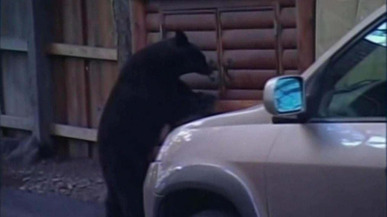 A bear looking for food in a storage shed in the Lake Tahoe area.