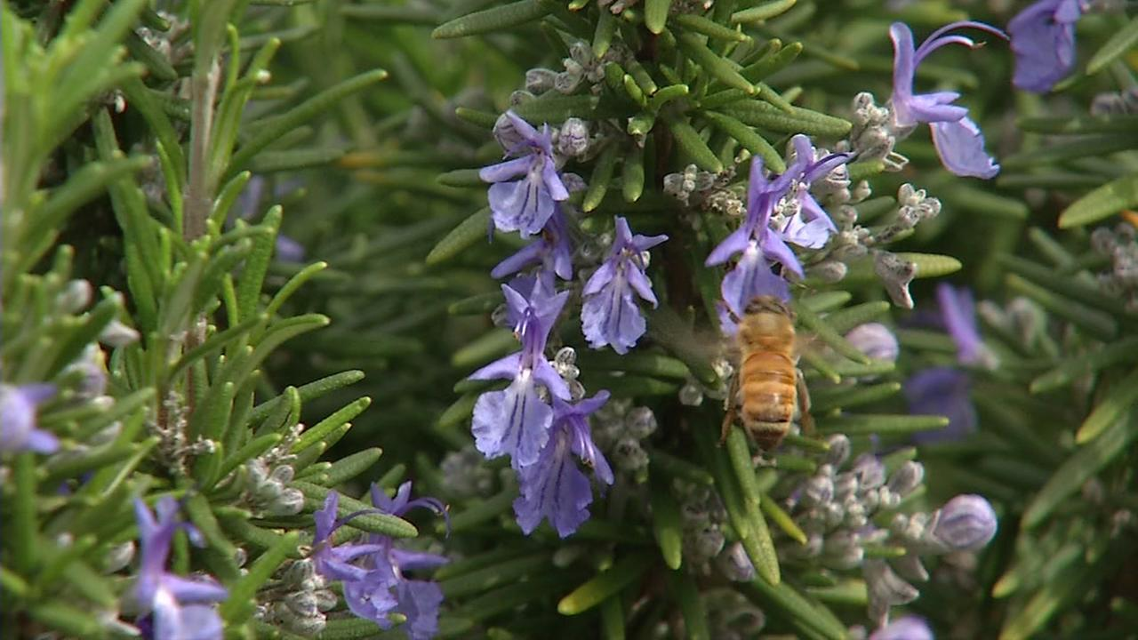 A bee lands on a flower in San Francisco on Friday, March 10, 2017.