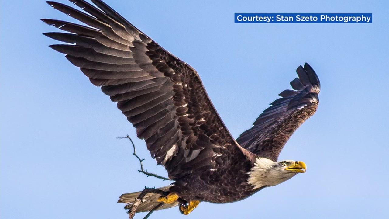 Two bald eagles are photographed near Curtner Elementary School in Milpitas, Calif.