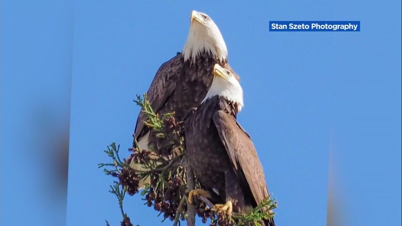 Bald eagles are photographed near Curtner Elementary School in Milpitas, Calif.Photo by Stan Szeto Photography