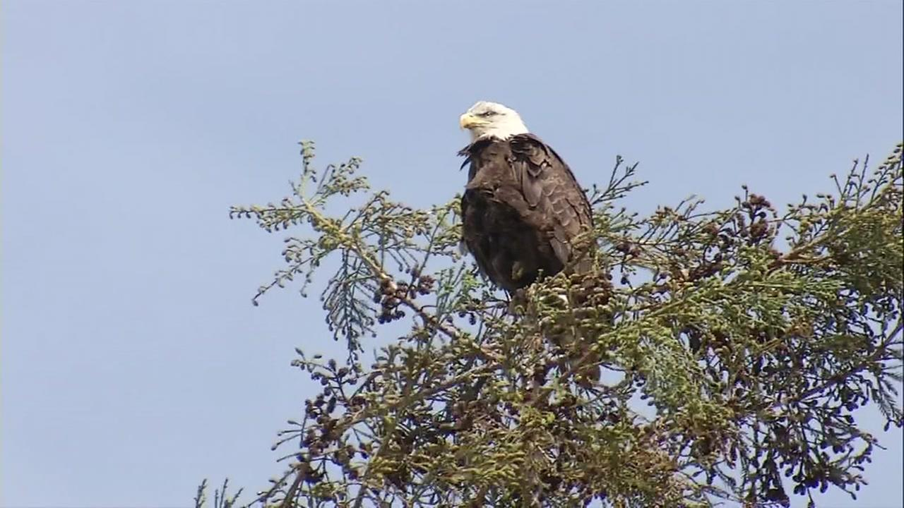 Bald eagles are photographed near Curtner Elementary School in Milpitas, Calif.