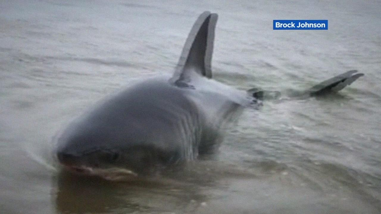 Santa Cruz Great White Shark died from infection attacking nervous system
