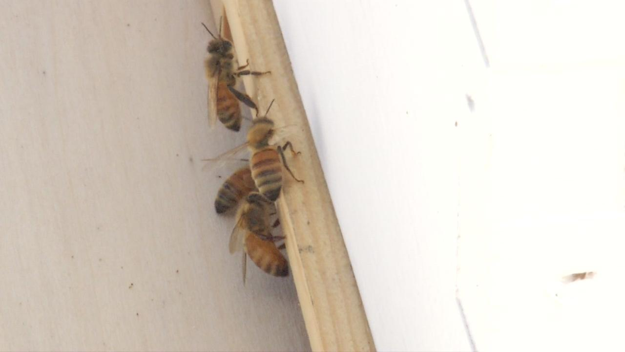 Bees are seen at Visitacion Valley Middle School in San Francisco, Calif. on Wednesday, April 12, 2017.