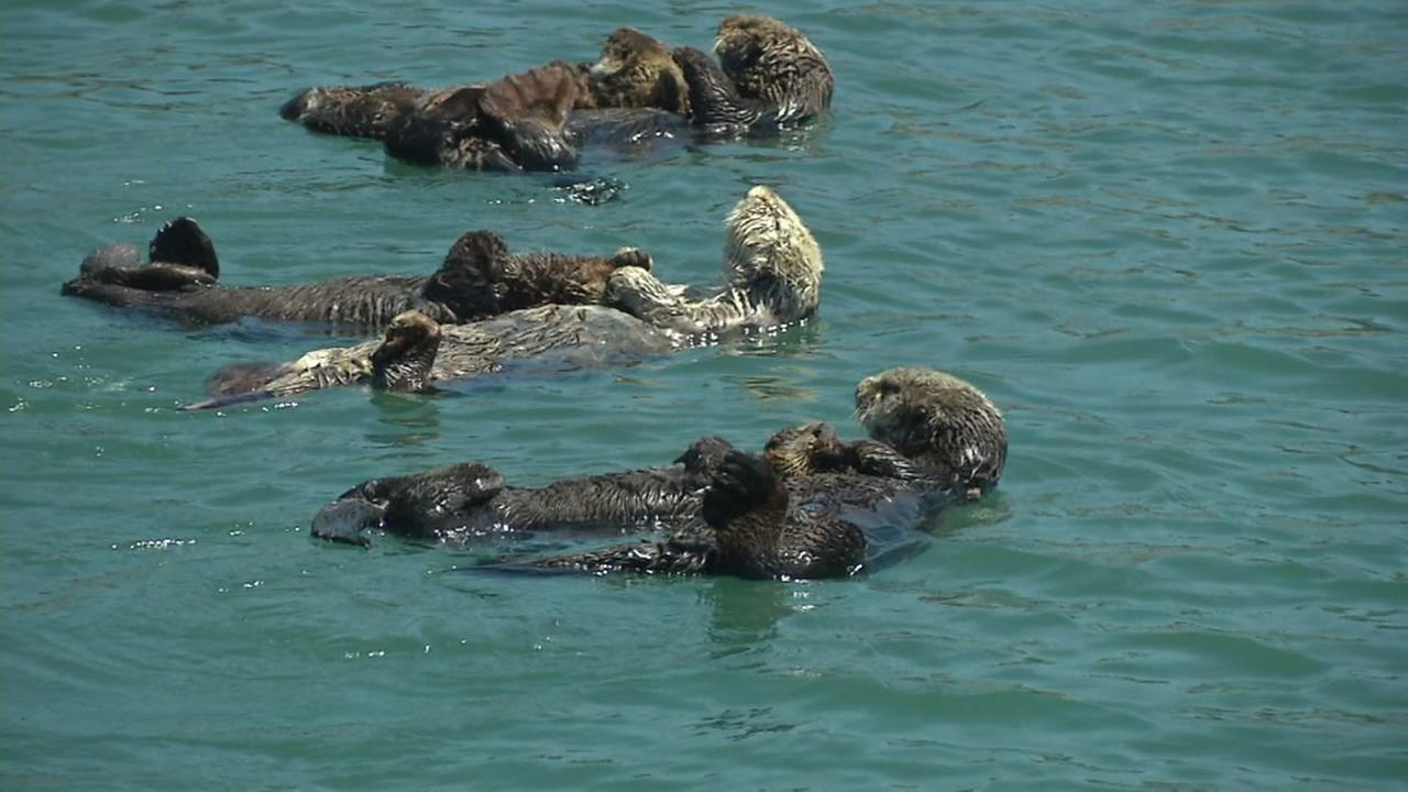 California sea otters and their pups are getting a lot of attention on the central coast of California.