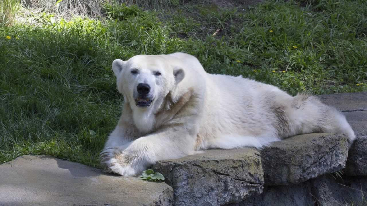 Uulu the polar bear sits in her enclosure at the San Francisco Zoo.