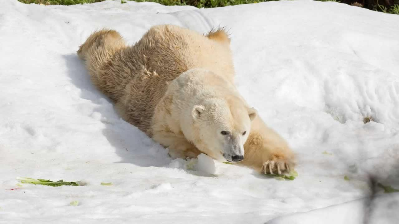 Uulu the polar bear plays in snow that was brought into her exhibit at the San Francisco Zoo in 2016.Photo by Marianne Hale