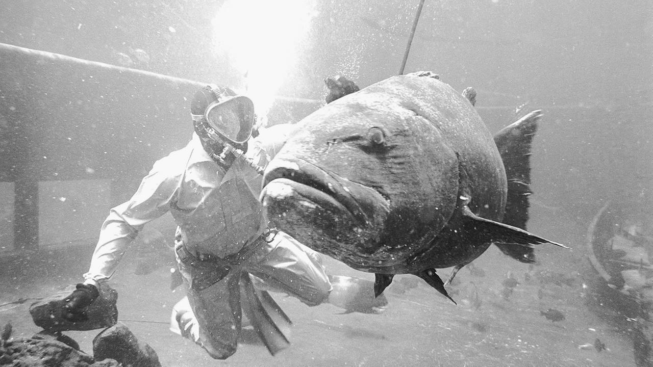 A diver looks over a giant sea bass, caught off Santa Barbara Island, Ca., Nov.14, 1966.
