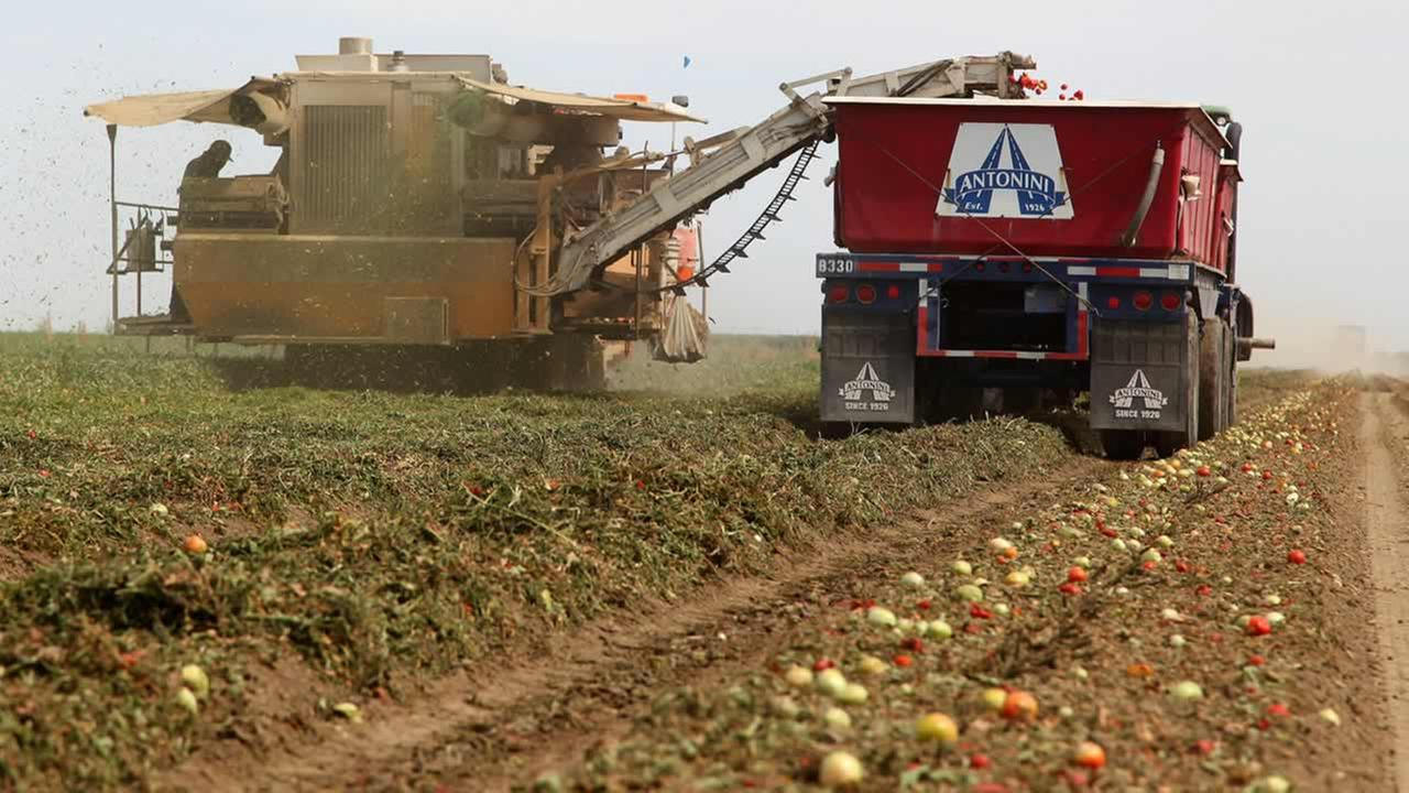 In this June 25, 2013, file photo, a mechanical harvester picks tomatoes in the Westlands Water District near Five Points, Calif. (AP Photo/Gosia Wozniacka, File)